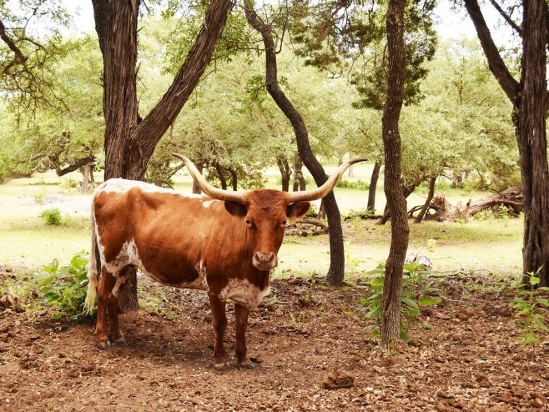 Dripping Springs Longhorn